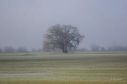 foggy-tree