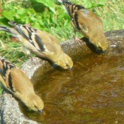 drinking-bird-photo-lane-county-oregon