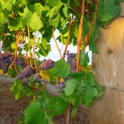 grapes-photo-lane-county-oregon